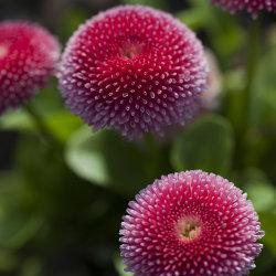 pink english daisy