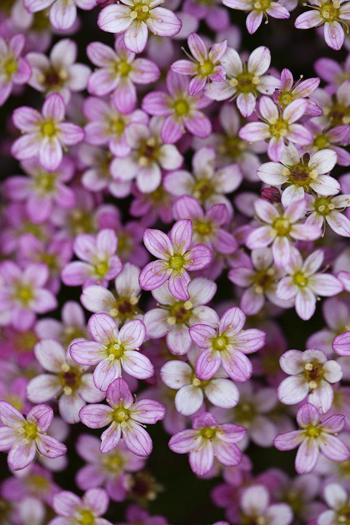 pink sandwort