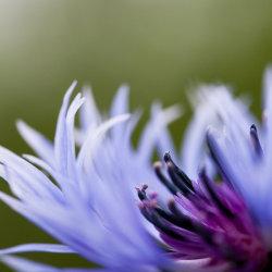 purple frenzy