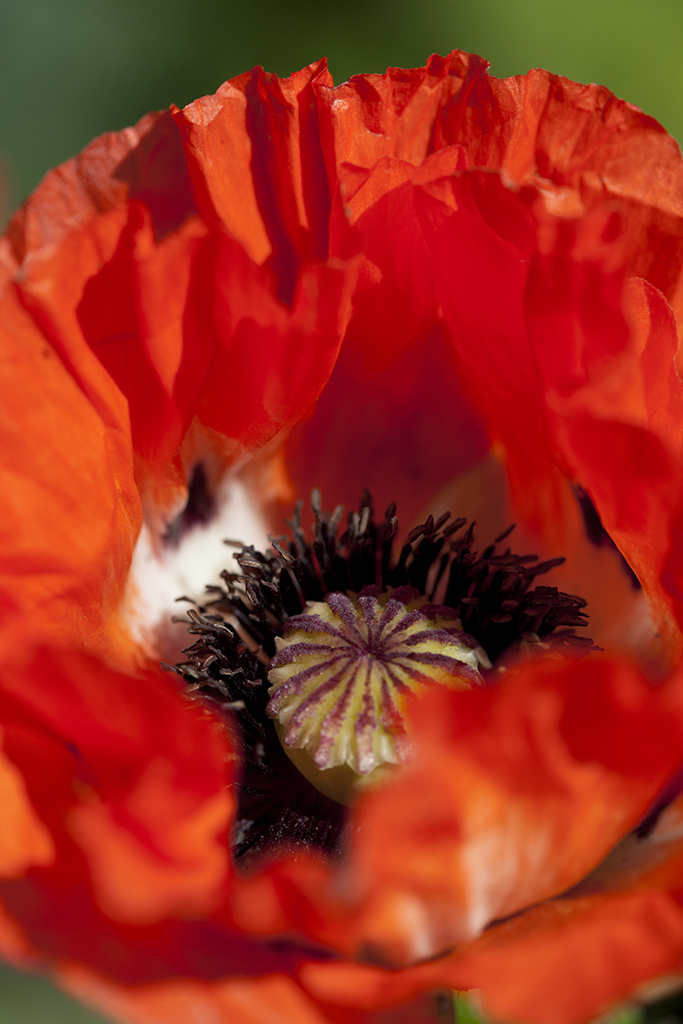 red poppy close-up