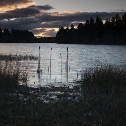 reeds in crombie reservoir