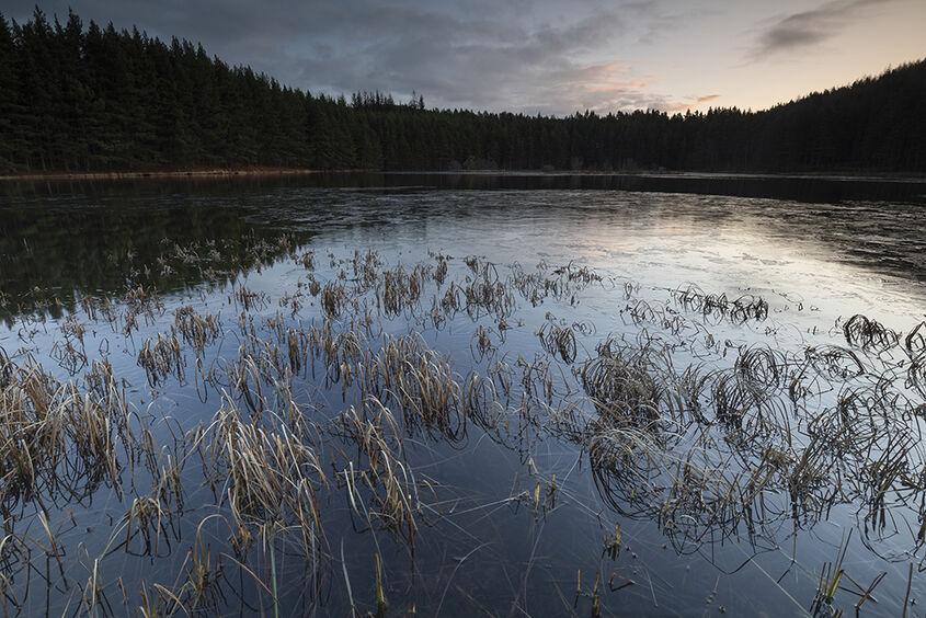 reeds in loch ullachie
