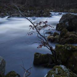 tree by falls of feugh