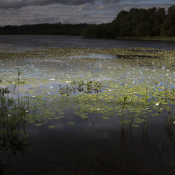 water lilies on loch kinord