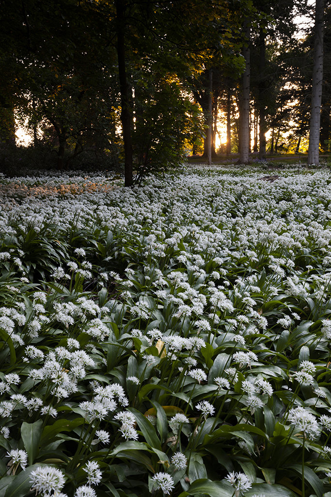 wild garlic and the setting sun