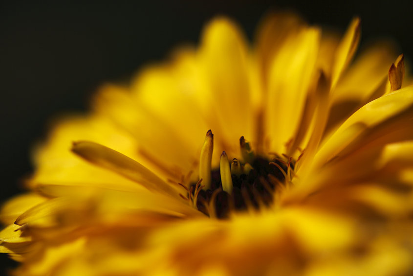 yellow calendula close-up