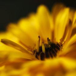 yellow calendula close-up