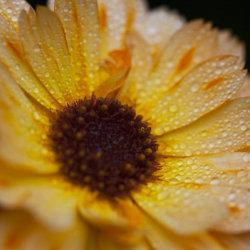 yellow calendula in the rain