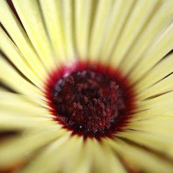 yellow mesembryanthemum