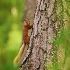 Eurasian Red Squirrel (Sciurus vulgaris), Cairngorms NP, Scotland