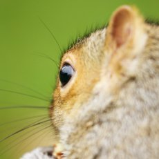 Eastern Grey Squirrel (Sciurus carolinensis), Royal Botanic Gardens, Edinburgh, Scotland