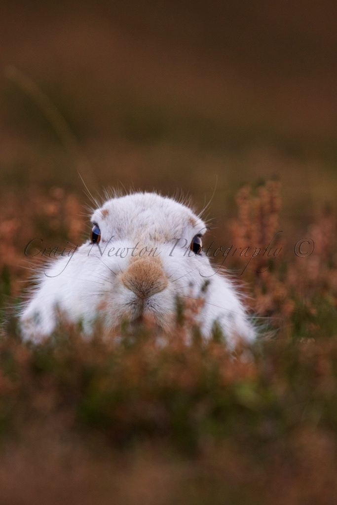 Mountain Hare (Lepus timidus), Inverness-shire, Scotland