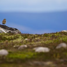 Northern Wheatear (Oenanthe oenanthe), Cairngorms NP, Scotland