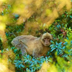 Barbary Macaque (Macaca sylvanus), Upper Rock Nature Reserve, Gibraltar