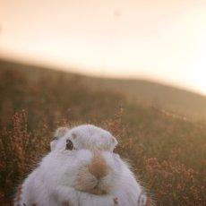 Mountain Hare (Lepus timidus), Inverness-shire, Scotland