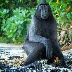 Celebes Crested Macaque (Macaca nigra), Tangkoko Batuangus Nature Reserve, Sulawesi, Indonesia