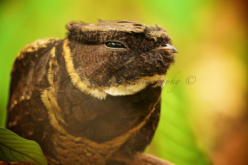 Sulawesi nightjar (Caprimulgus celebensis), Tangkoko Batuangus Nature Reserve, Sulawesi, Indonesia