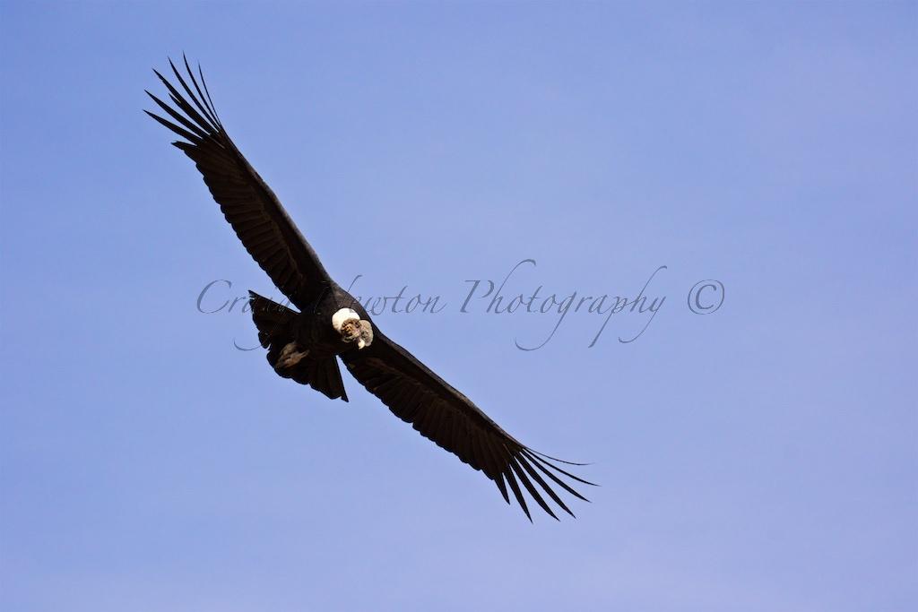 Andean Condor (Vultur gryphus), Colca Canyon, Peru