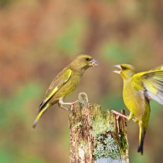 European Greenfinches (Chloris chloris), Denholm, Scotland