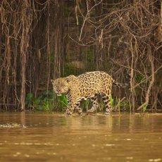 Jaguar (Panthera onca palustris), Parque Estadual Encontro das Águas, Brazil