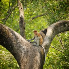 Proboscis Monkey (Nasalis larva's), Labuk Bay, Sabah, Malaysia
