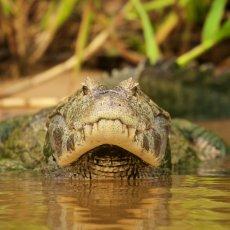 Yacare Caiman (Caiman yacare), Parque Estadual Encontro das Águas, Brazil