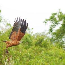 Black-collared Hawk (Busarellus nigricollis), Parque Estadual Encontro das Águas, Brazil