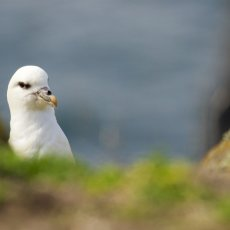 Northern Fulmar (Fulmarus glacial), Isle of May, Scotland