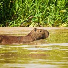 Capybara (Hydrochoerus hydrochaeris), Parque Estadual Encontro das Águas, Brazil