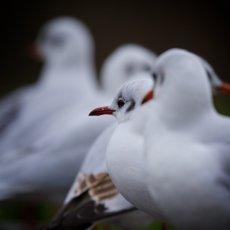 Black-headed Gull (Chroicocephalus ridibundus), Figgate Park, Edinburgh, Scotland