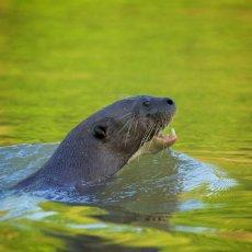 Giant River Otter (Pteronura brasiliensis), Parque Estadual Encontro das Águas, Brazil