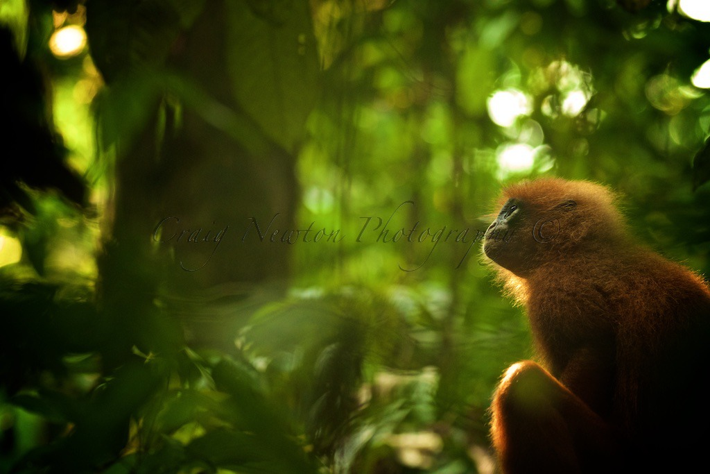 Red Leaf Monkey (Presbytis rubicund), Danum Valley Conservation Area, Sabah, Malaysia