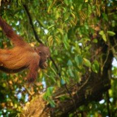 Bornean Orang-utan (Pongo pygmaeus), Danum Valley Conservation Area, Sabah, Malaysia