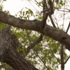 Common Potoo (Nyctibius griseus), Estrada Parque Transpantaneira, Brazil