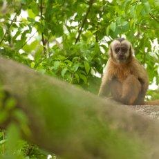 Tufted Capuchin (Sapajus apella), Estrada Parque Transpantaneira, Brazil