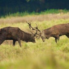 Red Deer (Cervus elapses), Cheshire, England