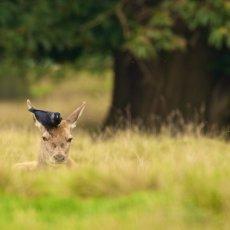 Red Deer (Cervus elapses) & Eurasian Jackdaw (Corvus monedula), Cheshire, England