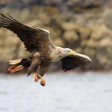 White-tailed Eagle (Haliaeetus albicilla), Isle of Mull, Scotland