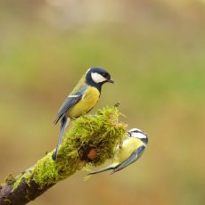Great Tit (Parus major) & Eurasian Blue Tit (Cyanistes caeruleus), Edinburgh, Scotland