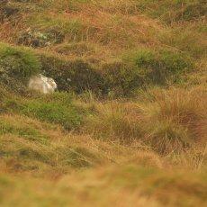 Mountain Hare (Lepus timidus), Derbyshire, England