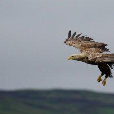 Whte-tailed Eagle (Haliaeetus albicilla), Isle of Mull, Scotland