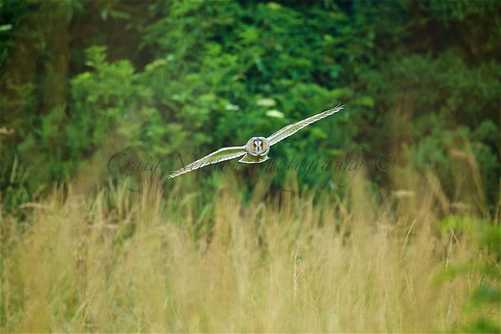 Long-eared Owl (Asio otus), Edinburgh, Scotland