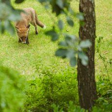 Red Fox (Vulpes vulpes) Willowbrae, Edinburgh, Scotland