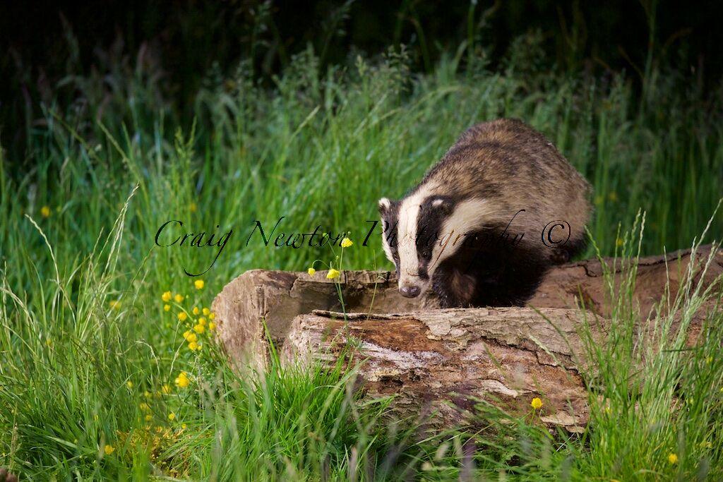 European Badger (Meles meles), Denholm, Scotland