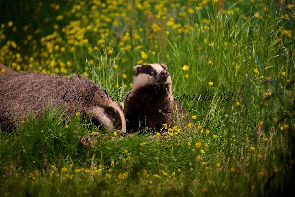 European Badgers (Meles meles), Denholm, Scotland