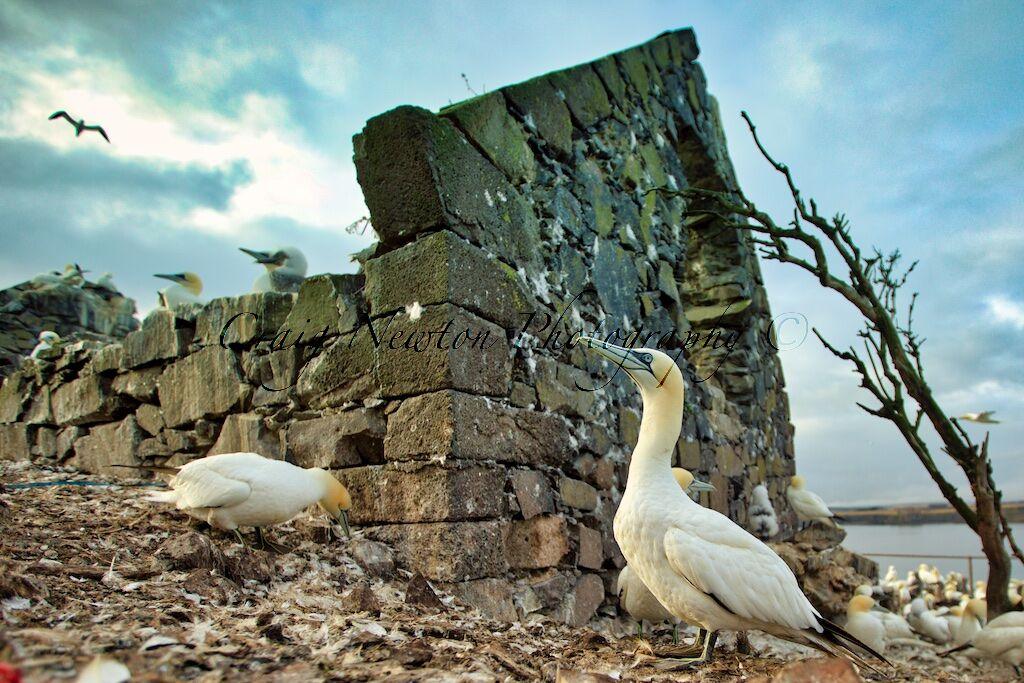 Northern Gannet (Morus bassanus), Bass Rock, Scotland