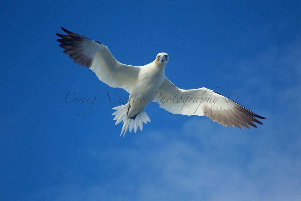 Northern Gannet (Morus bassanus), Isle of Noss, Scotland