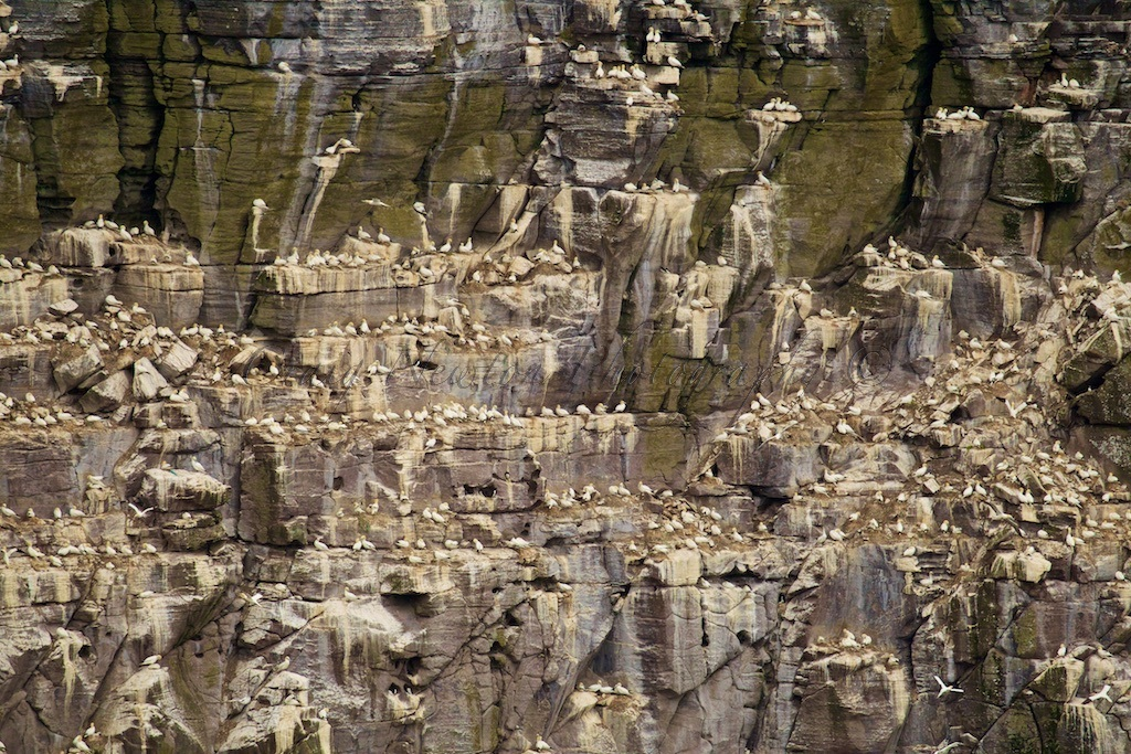Northern Gannets (Morus bassanus), Isle of Noss, Scotland