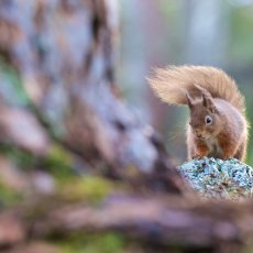 Eurasian Red Squirrel (Sciurus vulgaris), Cairngorms NP, Scotland