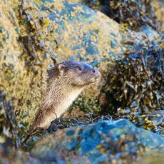 European Otter (Lutra lutra), Shetland Islands, Scotland